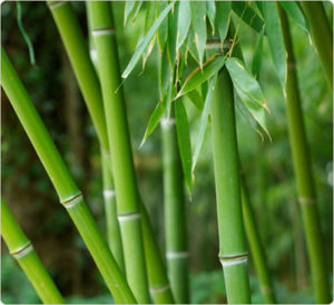 Bamboo is a renewable resource frequently used in sustainable materials.